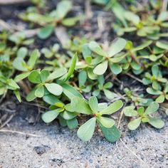 Purslane  Type: Broadleaf annual  Size: To 6 inches tall and 2 feet wide  Where it grows: Dry, sunny landscape and garden areas  Appearance: Groundcover with fleshy, dark green leaves and small yellow flowers at the ends of the stems.  Control: Mulch to prevent it or use a pre-emergence herbicide in the spring; pull plants by hand or spot-treat with a nonselective post-emergence herbicide.
