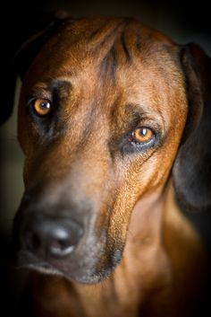 ☀Rhodesian Ridgeback ~ Hound eyes by BambaataaRR on Flickr*