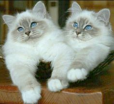 Great Photos Ragdoll Cats and kittens Style The big, weak Ragdoll is usually a adorable accessory for virtually any family pet significant other's home. Cute Cats And Kittens, I Love Cats, Crazy Cats, Kittens Cutest, Pretty Cats, Beautiful Cats, Baby Animals, Cute Animals, Animals Images