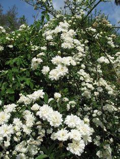 Lady Banksia White