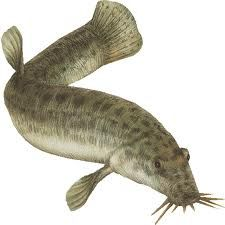 The Weather loach, also called the Dojo loach, makes a great addition to your water garden koi. Get the weather forecast from your pond! Garden Pond, Water Garden, Goldfish Pond, Ponds Backyard, Fishing Humor, Cichlids, Planted Aquarium, Dojo, Animals