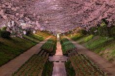 cherry blossoms in bloor yokohama japan hanami Picture of the Day: Yokohama Cherry Blossoms in Bloom