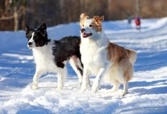 Two Beautiful Border Collies in the Snow