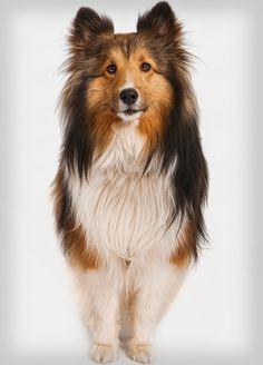 Shetland Sheepdog. I want one!!