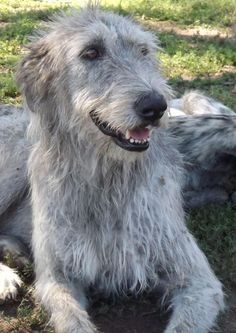 Good Ideas to Use When You Need Information About Canines *** Check out this great article. Irish Wolfhound Puppies, Irish Wolfhounds, Big Dogs, Dogs And Puppies, Doggies, Beautiful Dogs, Animals Beautiful, Scottish Deerhound, Crazy Dog Lady