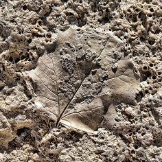 "bernievideo: ""Fossil in Travertine"" (Taken with Instagram)"