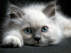 Adorable - cute, white, kitten, pet, grey