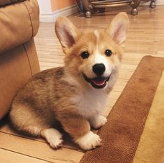 Corgi 11 Adorable Baby Animals