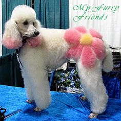 Large colored chalk dissolved in water and applied to fur/or human hair. Washes out. I've never seen a poodle look so good. lol @sa woo