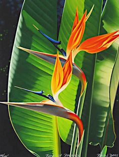 The Art of Brian Davis - Home Bird of Paradise plant Tropical Art, Tropical Flowers, Watercolor Flowers, Watercolor Paintings, Oil Paintings, Birds Of Paradise Plant, Plant Painting, Painting Workshop, Botanical Illustration