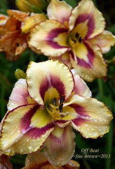 Welcome to the famous Dave's Garden website. Join our friendly community that shares tips and ideas for gardens, along with seeds and plants. Garden Art, Garden Plants, Daylily Garden, Flora, Lilies Of The Field, Potager Bio, Day Lilies, Tropical Flowers, Flower Power