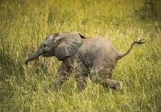 Wait for me! by Adam Rozanski on 5 elephant Zoo Animals, Funny Animals, Cute Animals, Wild Animals, Wild Creatures, Cute Creatures, What Animal Are You, Wildlife Conservation Society, Save Wildlife