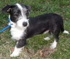 McCloud is an adoptable Schnauzer Dog in Rockville, MD.  Adorable Terrier Puppy My name is McCloud. I am a mere 6 months old, and weigh 10lbs. Lord only knows how I ended up at the shelter on death ro...