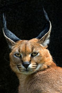 ~~Caracal by TeresaB~~ does this match the baby cat? Caracal Cat, Serval, Lynx, Beautiful Cats, Animals Beautiful, Big Cats, Cats And Kittens, Cute Funny Animals, Funny Cats