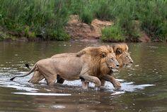 Two Majingilanes Crossing the Sand River by Doyle David Dampier
