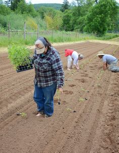 We love using our tractor, but sometimes old-fashioned hand planting is what's needed to get the job done. Here we are planting the last of our tomato trials (6-3-14).