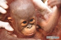 Duapuluh Orangutan Kembali Menikmati Kebebasan di Hutan Tropis Kalimantan | Mongabay.co.id