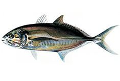Fisch: Caranx crysos (Caranx crysos) | Fischlexikon Fish Art, Zine, Whale, Animals, Types Of Fish, Fish, Animales, Animaux, Whales