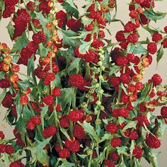 [Strawberry Spinach is one of the best-kept secrets of the herb world. A native American plant, this annual sets tiny, deliciously tender leaves that can be cooked like spinach or used fresh in salads. It also sets small red fruits in late summer and fall that taste a bit like mulberries and are lovely fresh or canned. Genus:Chenopodium  Species:capitatum  ]