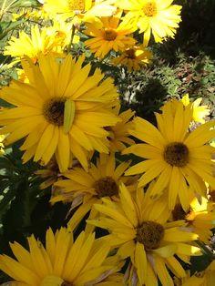 Heliopolis (perennial sunflower)