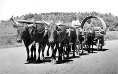 Ox wagon - some family members traveled this way. My Childhood Memories, My Land, Ox, Real People, Historical Photos, Cattle, South Africa, Moose Art, Horses