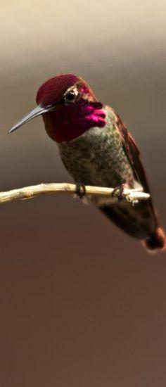 Hummingbirds are the Sonoran Desert's iridescent jewels, truly precious treasures! Original image by Florence McGinn --