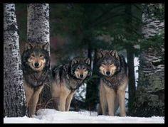 Gray wolves in forest - pg.45  Controlla su http://www.zenoarte.com/stampe-poster-roma/ i formati in cui può essere stampata