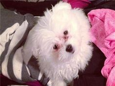 Puppy Photo Gallery - Kevin - Malti Pom  http://affordablepup.com/photo_gallery/1865-Kevin-Malti-Pom
