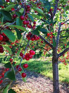 Michigan's Tart Cherry tree