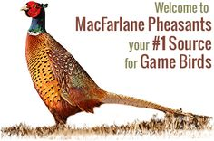 America's Largest Pheasant Farm | Game Birds, Pheasant Chicks, Pheasants For Sale, Pheasant Meat Sales & More
