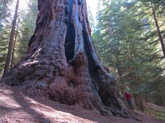 Giant sequoia 'Boole Tree' in the Giant Sequoia National Monument, Sequoia National Forest, United States