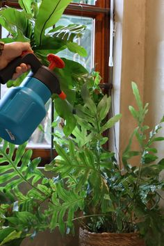 Remember to mist-spray your houseplants like ferns and orchids on hot days to provide extra humidity! You can place pots on a dish with pebbles and water to provide extra moisture without overwatering. #gardeningtips #houseplants #mistspray #orchids #ferns #indoorplants #humidity Mist Spray, Hot Days, Watering Can, Ferns, Houseplants, Indoor Plants, Gardening Tips, Mists, Orchids
