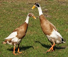 Runner Ducks...I love these birds. I have 2 right now but I am getting 4 more in a couple of weeks. They lay eggs like chickens... best duck for egg laying... not so much for eating... kind of skinny