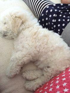 Cute bichon  frisé sleep 😴