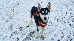 tips on training siberian husky puppies Siberian Husky Puppies, Husky Puppy, Huskies Puppies, Dogs, Husky Training, Funny, Animals, White Husky, Animaux