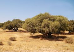 Argan oil - Wikipedia
