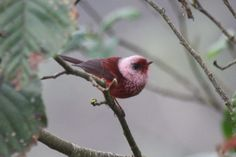 Pink-headed Warbler.  A little gem from the highlands of Costa Rica.