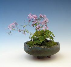 kusamono (companion plantings, or herbaceous plants in bonsai containers when they stand alone). This Thalictrum (Meadow-rue)