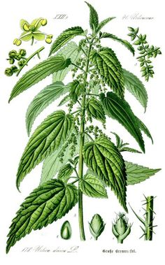 "1885 Botanical Illustration of Stinging Nettle. So many delicious uses once you take the ""sting"" out!"