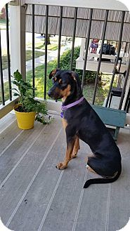 Wichita, KS - German Shepherd Dog/Doberman Pinscher Mix. Meet Emma, a dog for adoption. http://www.adoptapet.com/pet/17420360-wichita-kansas-german-shepherd-dog-mix