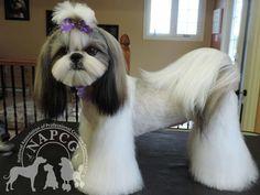 Ideas Dogs Grooming Styles Shih Tzu For 2020 Shih Tzu Hund, Shih Tzu Puppy, Shih Tzus, Dog Grooming Styles, Cat Grooming, Poodle Grooming, Grooming Salon, Yorkies, Shih Tzu Hair Styles