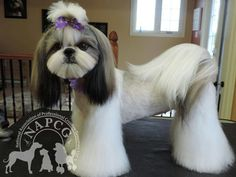 -Repinned- Japanese style grooming on shih tzu.