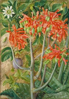 Aloe and Passionflower, South Africa  by Marianne North  1882