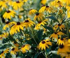 Black-eyed Susans always add a cheery note to the landscape. If a flower were used to describe happiness, this would be it.