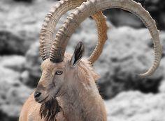 amasing mountan goat