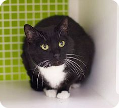 Hi guys! My name is Faygo. I am a young, handsome, shorthaired kitty in need of a loving home for life. I am a friendly cat, a very nice boy who enjoys attention and companionship. I like to be petted and brushed. I love to bat around cat toys and to lounge atop the kitty tower. I am litterbox trained like a good boy, too. I hope to find a home where I'll be loved for life and treated like a beloved family member. Please give me a chance! Adoption fee: $60.