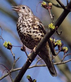 The mistle thrush is a bird common to much of Europe, Asia and North Africa. It is a year-round resident in much of its range, but northern and eastern populations migrate south for the winter, often in small flocks.