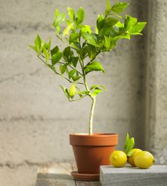 Organic Dwarf Meyer Lemon Topiary from Viva Terra. They also have lime and kumquat. Can be grown indoors!