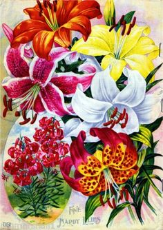 Fine-Hardy-Lilies-Vintage-Flowers-Seed-Packet-Catalogue-Advertisement-Poster