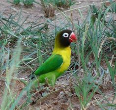 Yellow-collared Lovebird (Agapornis personatus) feeding in the grass